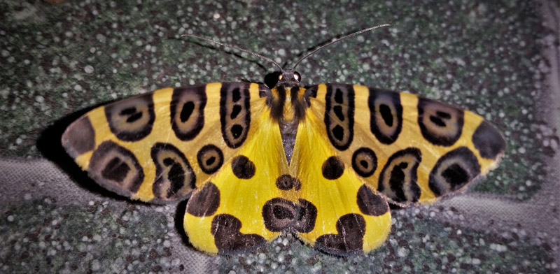 Leopard Moth, Pantherodes sp. Family: Geometridae. Caranavi, Yungas, Bolivia february 24, 2019. Photographer; Peter Møllmann