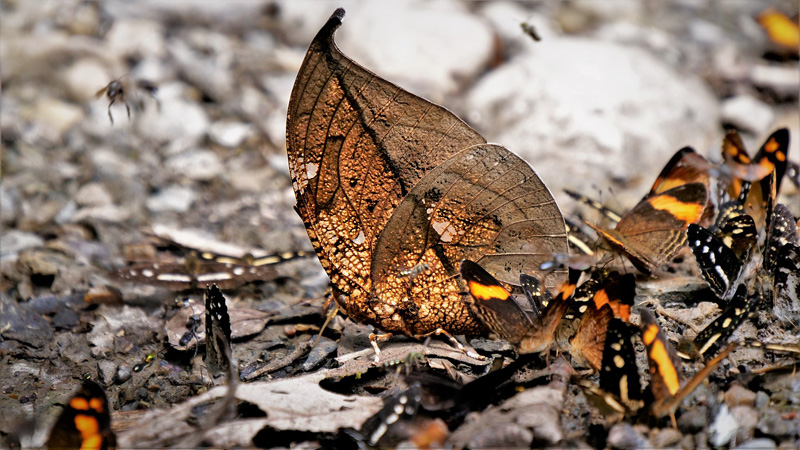 Magnificent Leafwing, Coenophlebia archidona. Old hotspot near near Caranavi, Yungas, Bolivia december 8, 2018. Photographer; Peter Møllmann