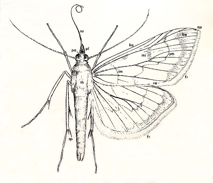 hvor mange ben har en sommerfugl