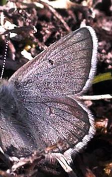 Skiferblåfugl, Agriades aquilo. Gurttejohka / Lullehacorru Rr 272A, Jukkasjärvi. Torneträsk nordbred, Sverige 1 juli 2007. Fotograf: Lars Andersen