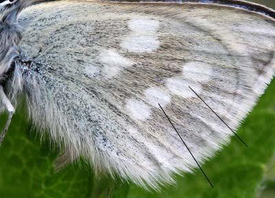 Fjällvickerblåvinge, Abulina orbitulus. Bruksvallarna, Sverige. d. 3 juli 2007. Fotograf: Daniel Dolfe
