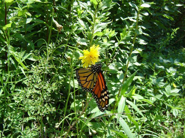 hvad spiser sommerfuglelarver
