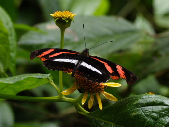 Telesiphe Longwing (Podotricha telesiphe). Cloudy mountainforest; The old railroad between Coroico and Coripata,Yungas. d. 24  February 2008. Photographer: Prem Roy