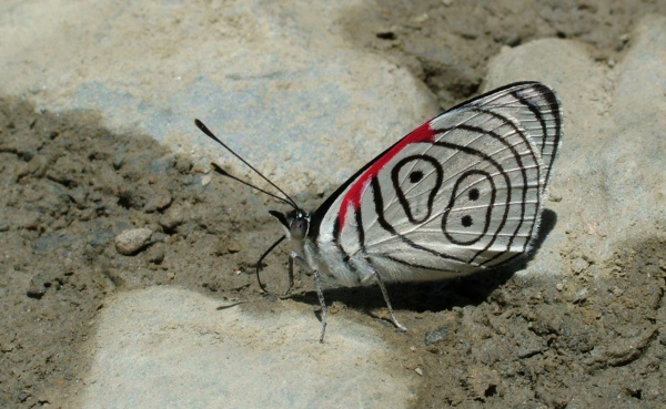 My first butterflies photos from Bolivia! Clymena Eighty-eight. Diaethria clymena. Yolosa, yungas, Bolivia d. 31 December 2004. Photographer; Lars Andersen