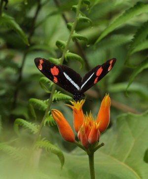 Telesiphe Longwing (Heliconius telesiphe). The old railroad / Kori Wayku inca trail, Yungas, elev. 2000 m. 23 February 2009. Photographer: Lars Andersen