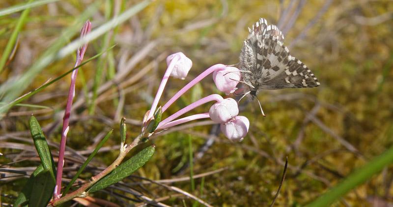 Multebærbredpande,Pyrgus centaureae (Rambur, 1839). Kvarnberg, Dalarna, Sverige d. 19 juni 2020. Fotograf; Erling Krabbe