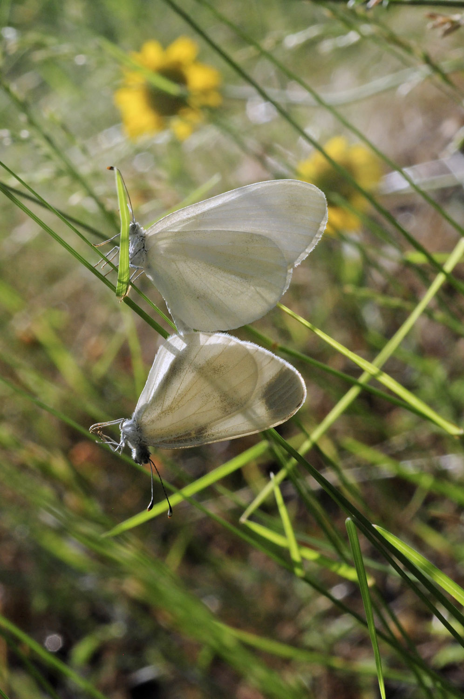 mørke grøn butterfly