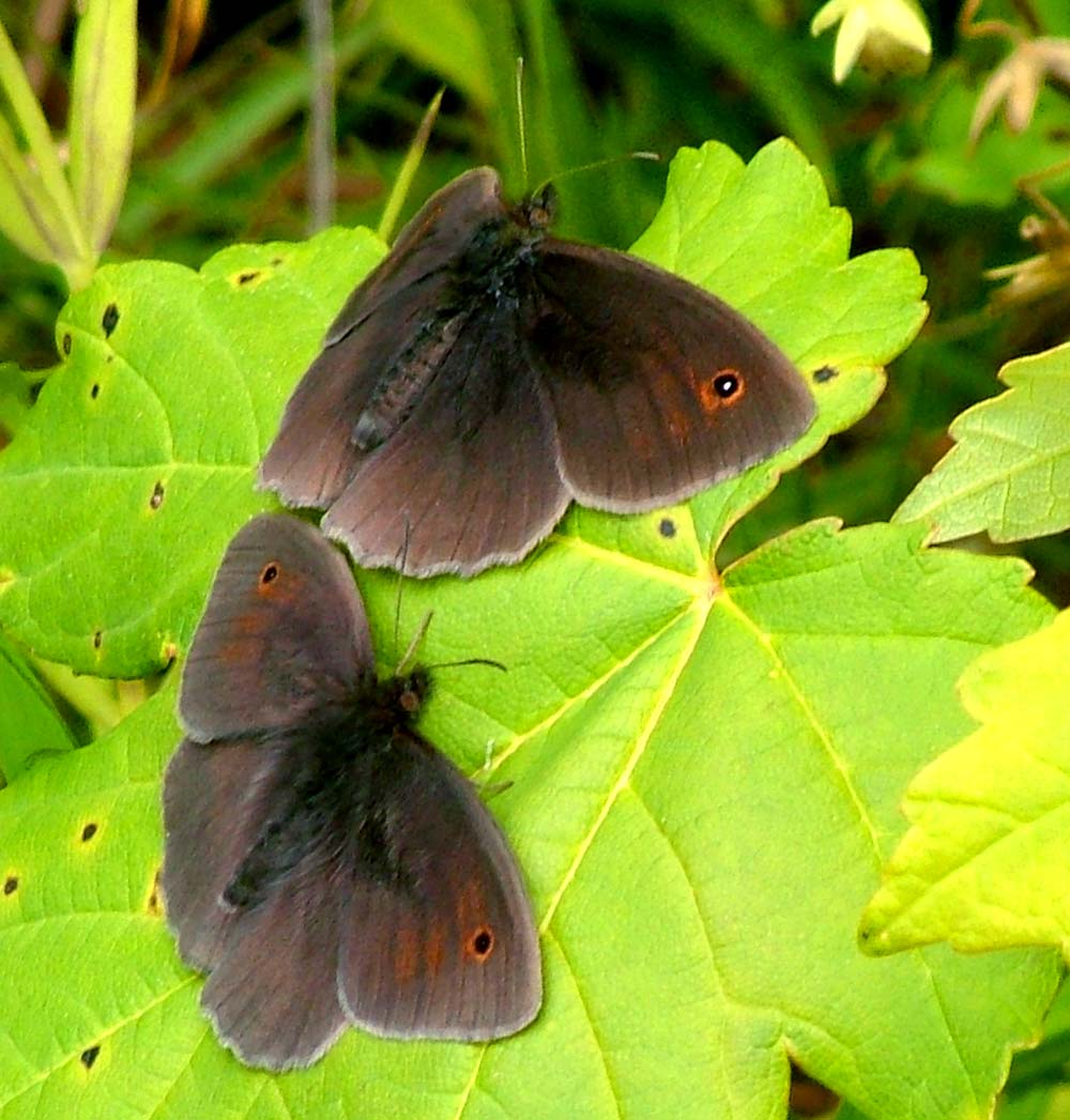 sommerfugl stor okseøje