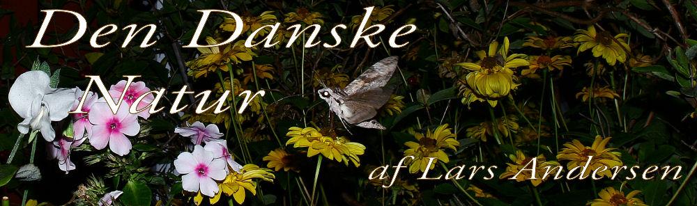 Snerlesværmer på Floks i vores lille kolonihave i H/F Vennelyst. d. 4 september 2005, kl: 20.54 Fotograf: Lars Andersen