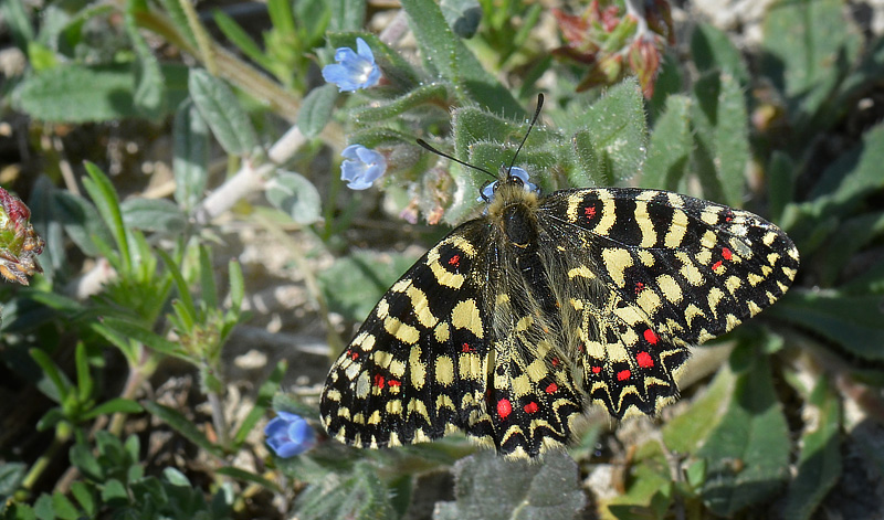 Spanish Festoon, Zerynthia rumina. Aragon Candasnos, Spain d. 24 march 2013. Photographer; Martin Bjerg