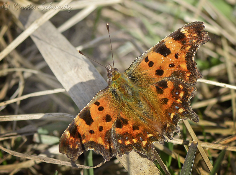 The Blue-Spotted Comma, Polygonia c-album ab. caeruleopunctata. Pinseskoven d. 31 marts 2014. Photographer; Kirsten Schwartz