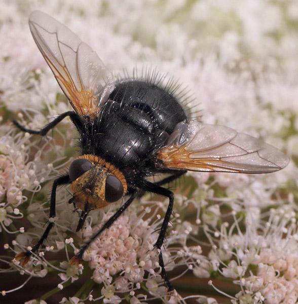 Kæmpefluen Harald, Tachina grossa. Holmegård Mose d. 4 august 2016. Fotograf; Lars Andersen