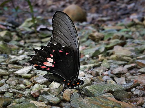 Ruby-spotted Swallowtail, Heraclides anchisiades ssp. anchisiades (Esper, 1788). Caranavi, Yungas, Bolivia january 15, 2018. Photographer; Peter Møllmann