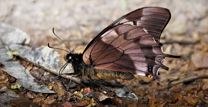 Cloud-frosted Swallowtail, Pterourus warscewiczii (Hopffer, 1865).  Caranavi, Yungas, Bolivia january 8, 2018. Photographer; Peter Møllmann